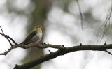 Fluiter / Wood Warbler / Phylloscopus sibilatrix