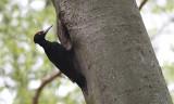 Zwarte Specht / Black Woodpecker / Dryocopus martius