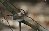 Kleine Vliegenvanger / Red-breasted Flycatcher / Ficedula parva