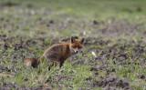 Vos / Red Fox / Vulpes vulpes