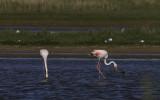 Europese Flamingo / Greater Flamingo / Phoenicopterus roseus