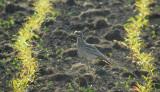 Griel / Stone Curlew / Burhinus oedicnemus