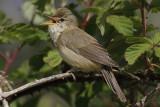 Bosrietzanger / Marsh Warbler / Acrocephalus palustris
