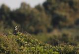 Oostelijke Blonde Tapuit / Eastern Black-eared Wheatear / Oenanthe melanoleuca