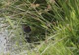 Kleinst Waterhoen / Baillon's Crake / Zapornia pusilla