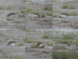 Breedbekstrandloper / Broad-billed Sandpiper / Calidris falcinellus