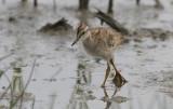 Tureluur / Common Redshank / Tringa totanus