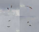 Slangenarend / Short-toed Eagle / Circaetus gallicus