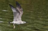 Geelpootmeeuw / Yellow-legged Gull / Larus michahellis