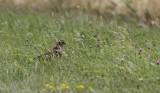 Grauwe Kiekendief / Montagu's Harrier / Circus pygargus