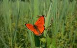 Grote Vuurvlinder / Lycaena dispar batava
