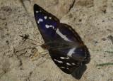 Grote Weerschijnvlinder / Apatura iris