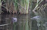 Europese Otter / European Otter / Lutra lutra