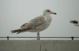 Zilvermeeuw? / Herring Gull? / Larus argentatus?
