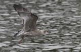 Zilvermeeuw / Herring Gull / Larus argentatus