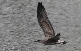 Kleine Mantelmeeuw / Lesser Black-backed Gull / Larus fuscus
