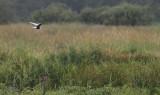 Witvleugelsten / White-winged Tern / Chlidonias leucopterus