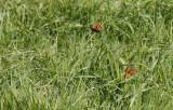 Argusvlinder / Lasiommata megera