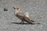 Grauwe Vliegenvanger / Spotted Flycatcher / Muscicapa striata