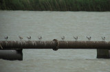 Lachstern / Gull-billed Tern / Gelochelidon nilotica