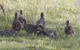 Patrijs / Grey-legged Partridge / Perdix perdix