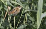 Rietzanger / Sedge Warbler / Acrocephalus schoenobaenus