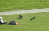 Huiskraai / House Crow / Corvus splendens