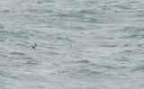 Kleine Jager / Arctic Skua / Stercorarius parasiticus