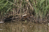 Waterral / Water Rail / Rallus aquaticus