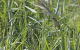 Waterrietzanger / Aquatic Warbler / Acrocephalus paludicola