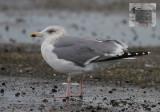 Zilvermeeuw / Herring Gull / Larus argentatus argentatus