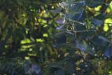 Bladkoning / Yellow-browed Warbler / Phylloscopus inornatus