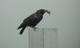 Zwarte Kraai / Carrion Crow / Corvus corone