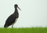 Zwarte Ooievaar / Black Stork / Ciconia nigra
