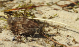Heivlinder / Hipparchia semele