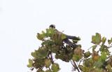 Roodpootvalk / Red-footed Falcon / Falco vespertinus