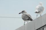 Hybride Zilvermeeuw x Pontische Meeuw / Caspian x Herring Gull / Larus argentatus x Larus cachinnans