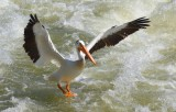 Pelicans in Saskatchewan 2013