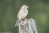 Grassquits and Sparrows