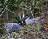 Yellow-crowned Night Heron pair