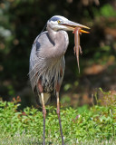 Great Blue Heron with Skink