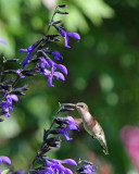 Ruby-throated Humingbird