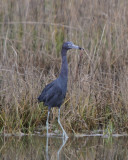 Little Blue Heron with snake
