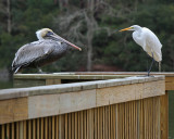Brown Pelican and Great Egret - Stand-off