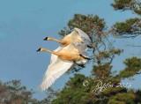 Geese & Swans