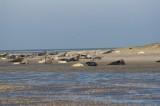 Kraamtijd voor de grijze zeehonden in de Waddenzee