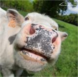 *** Cows ***