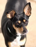ROX Dog Portrait