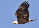 Bald Eagles Gallery