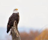 Magestic Bald Eagle